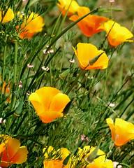 annual plant, eschscholzia californica, flower, yellow, wildflower, flora, meadow, petal, poppy,