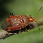Deraeocoris olivaceus
