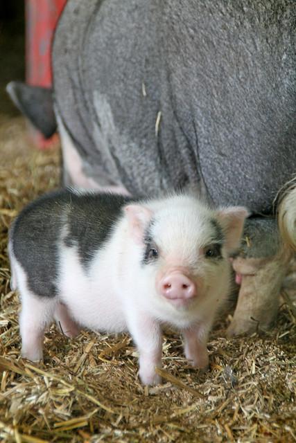 Sweet baby piglet