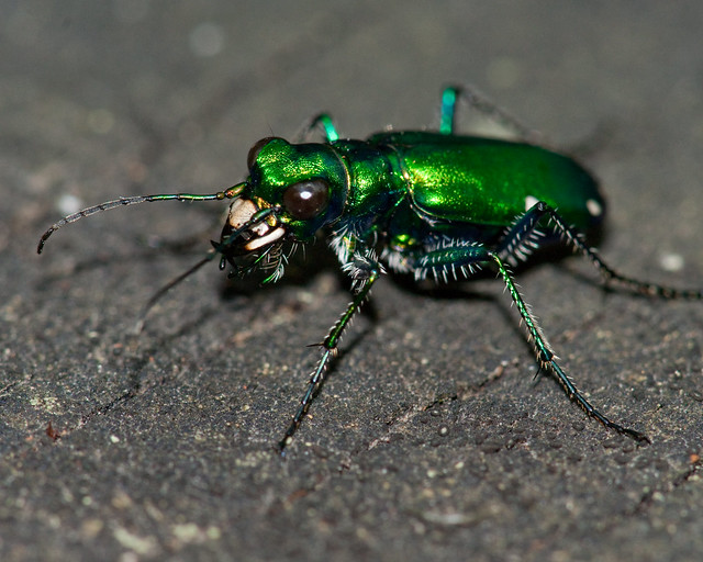 six spotted geen tiger beetle 8209
