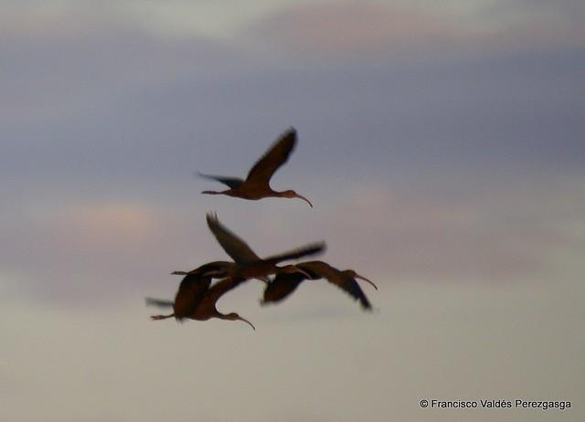 Ibis cara blanca, White-faced ibis, Plegadis chihi surcando el cielo de Gómez Palacio, al amanecer.