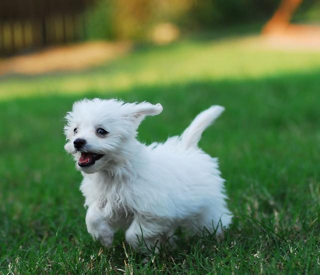 Small Designer Dogs
