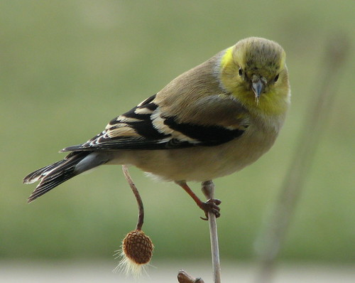 Male Goldfinch With Sycamore Seeds