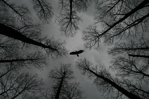 Buzzard overhead, somerset