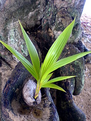 coconut growing on the beach near the princeville ho…