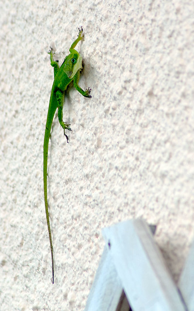 Anole-on-Wall
