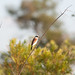 Small photo of Red-backed Shrike