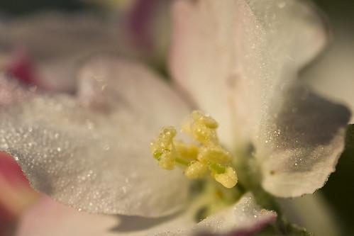 morning apple sunrise blossom dew macrolife ghholt
