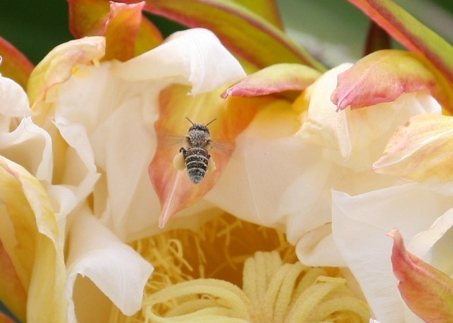 Pollination IMG_4730D