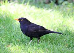 Eurasian Blackbird - Photo (c) John Rutter, some rights reserved (CC BY-NC-ND)