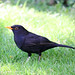 Eurasian Blackbird - Photo (c) John Rutter, some rights reserved (CC BY-NC-ND)