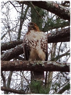 Red-Tailed Hawk in our neighborhood / January, 2014