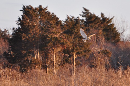 Barn Owl Sunset Hunt