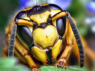 Face of a Southern Yellowjacket Queen (Vespula squamosa)