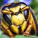 Face of a Southern Yellowjacket Queen (Vespula squamosa) by Thomas Shahan