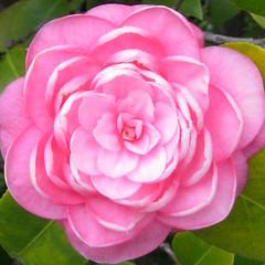 garden roses, rosa 㗠centifolia, floribunda, flower, plant, camellia japonica, theaceae, pink, petal,