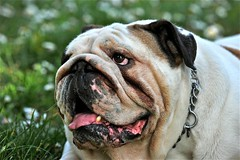 dog breed, animal, dog, old english bulldog, british bulldogs, pet, olde english bulldogge, snout, mammal, toy bulldog, close-up, bulldog,