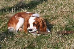 french spaniel(0.0), dog breed(1.0), animal(1.0), kooikerhondje(1.0), dog(1.0), welsh springer spaniel(1.0), mammal(1.0), king charles spaniel(1.0), brittany(1.0), spaniel(1.0), cavalier king charles spaniel(1.0),