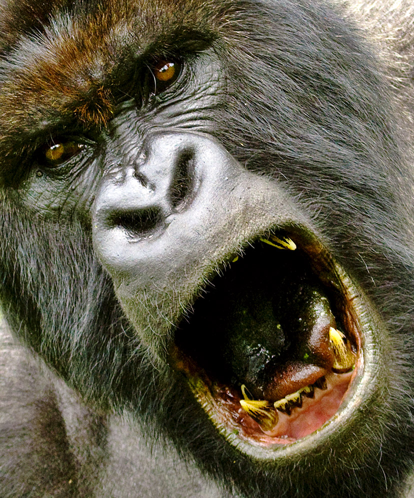 Gorilla mad - photo#10