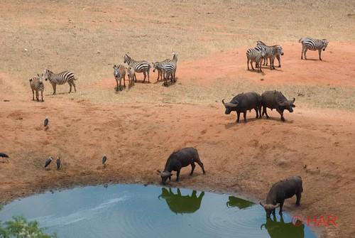 game buffalo nikon kenya reserve safari zebra tsavo d80 vosplusbellesphotos