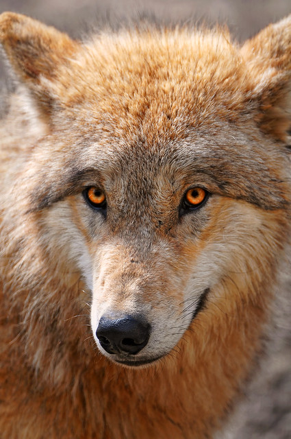 Sweet wolf