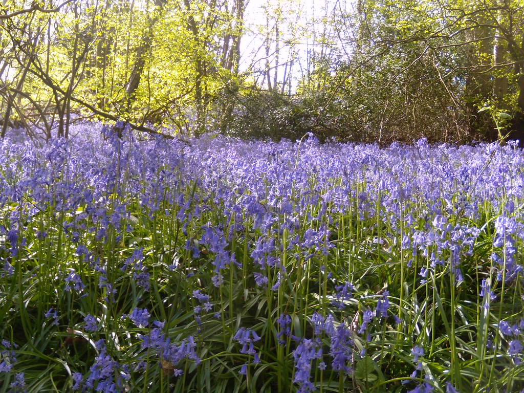 Bluebells 11 Hurst Green to Chiddingstone Causeway