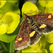Pyrausta - Photo (c) Frans, some rights reserved (CC BY-NC-ND)