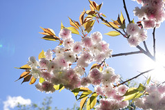 a double flowering cherry tree_35
