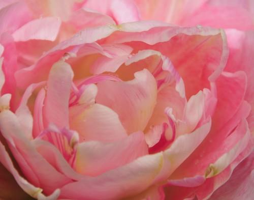 pink rose tulip