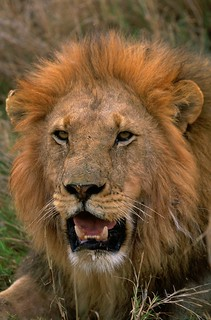 Adult African Lion