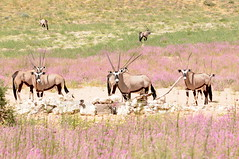 adventure(0.0), grazing(0.0), elk(0.0), animal(1.0), prairie(1.0), steppe(1.0), antelope(1.0), gemsbok(1.0), plain(1.0), mammal(1.0), herd(1.0), fauna(1.0), meadow(1.0), oryx(1.0), savanna(1.0), grassland(1.0), safari(1.0), wildlife(1.0),