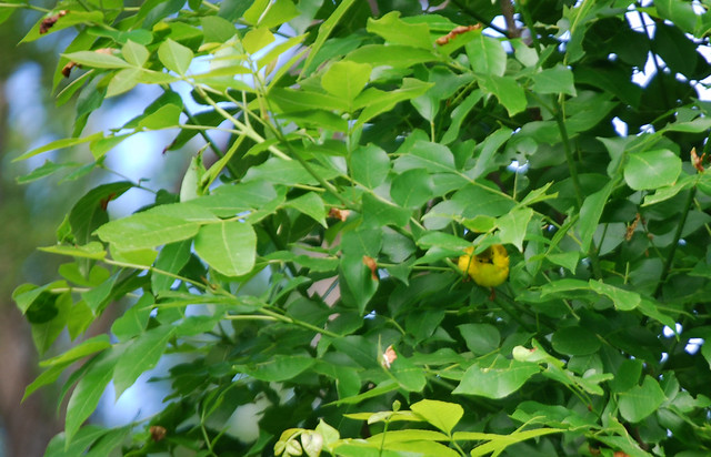 Little Bright Yellow Bird Hiding In The Green Leaves Of A
