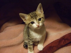 animal, kitten, small to medium-sized cats, pet, european shorthair, cat, carnivoran, whiskers, domestic short-haired cat,