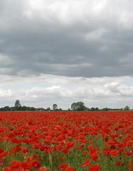Atmospheric Poppy Field