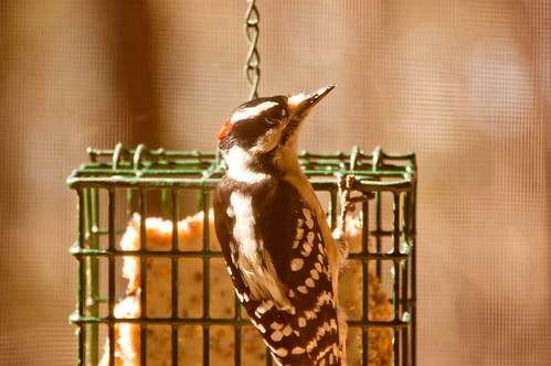 Baby Downy Woodpecker (2)