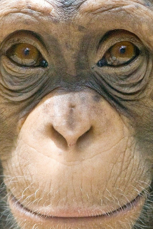 Chimpanzee Face - a photo on Flickriver