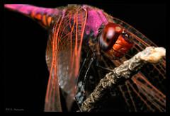 Dragonflies / Damselflies