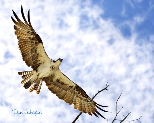 osprey fishhawk bocagrande