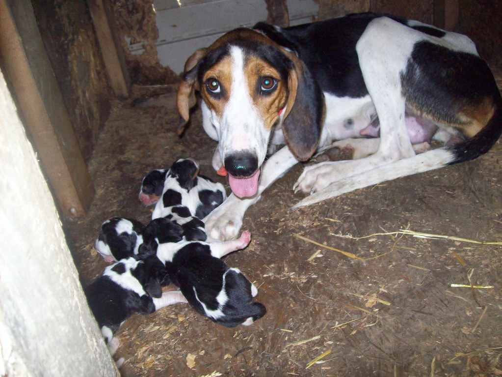 Cady Walker Coonhound With First Litter Of Puppies Flickr