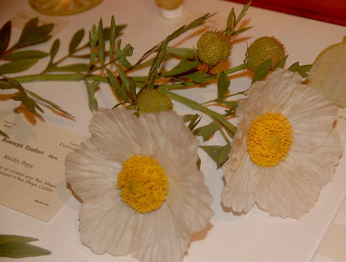 Glass Flowers: Matilija Poppy