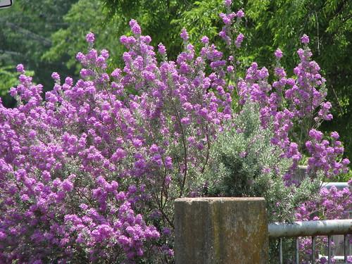 Texas Sage (Cenizo)