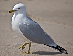 animal(1.0), charadriiformes(1.0), wing(1.0), fauna(1.0), great black-backed gull(1.0), european herring gull(1.0), beak(1.0), bird(1.0), seabird(1.0), wildlife(1.0),