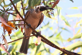 Silver-crowned Friarbird | by marj k