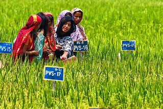 Women in Bangladesh inspect a field trial of rice varieties