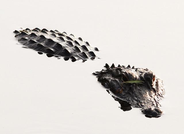 Aligátor americano (Alligator mississippiensis) en Florida. Estados Unidos.