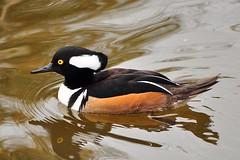 duck(0.0), canard(0.0), mergus(0.0), animal(1.0), water bird(1.0), wing(1.0), fauna(1.0), waterfowl(1.0), seaduck(1.0), ducks, geese and swans(1.0), beak(1.0), bird(1.0), wildlife(1.0),