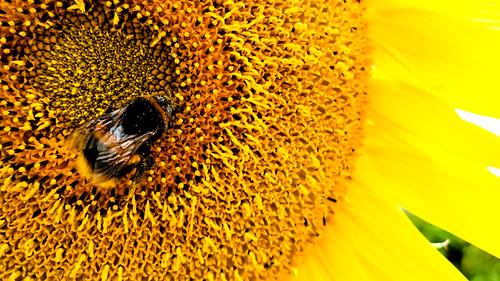 Hard working bee Macro