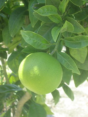 calamondin, citrus, plant, key lime, persian lime, produce, fruit, food, sweet lemon, bitter orange, citron,