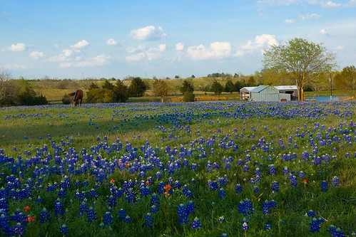 horse barn spring texas wildflowers bluebonnets brenham getrdun pond2009bluebonnetsbrenhamwildflowersphillipsburgh