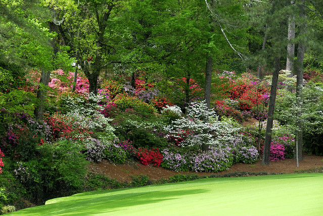 Azaleas and Dogwoods Line Hole Number Thirteen at Augusta National Golf Club in Augusta